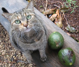 Furboy Comet with a gift of avocados. He's such a sincere feline fellow.