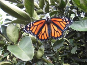 The first Monarch butterfly rests on the orange tree.
