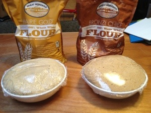 White whole wheat flour and traditional whole wheat flour. Pizza dough rising.
