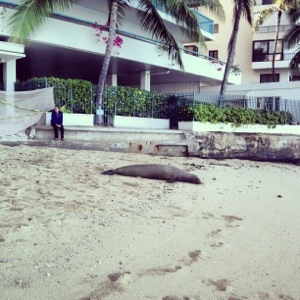 A tagged monk seal woke up to a few thousand people on the beach for the Waikiki Roughwater Swim.