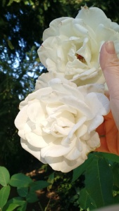 Portland is known as the City of Roses. These big white roses were outside our hotel room. This pic is for Sophie. Bloom, Kiddo!
